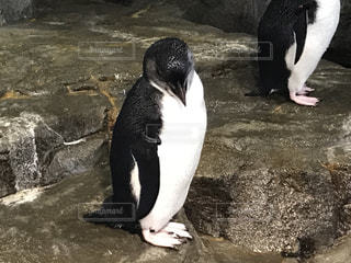 岩に立っているペンギンの写真・画像素材[956658]
