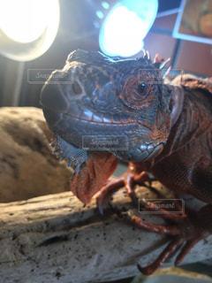 近くに爬虫類のアップの写真・画像素材[989282]