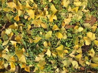 イチョウの落ち葉の写真・画像素材[941353]