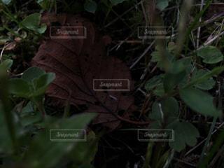 枯葉の写真・画像素材[941945]