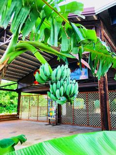 バナナの木の写真・画像素材[941595]