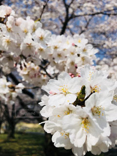 桜の季節の写真・画像素材[1093266]