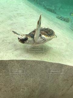 水の下で泳ぐ海亀の写真・画像素材[939775]