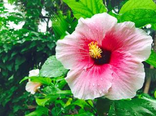 緑の葉とピンクのハイビスカス - No.941398