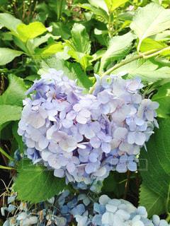 ハート紫陽花の写真・画像素材[957294]