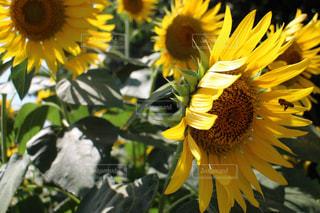 黄色の花の写真・画像素材[940842]