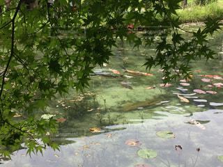 名もなき池(モネの池)の写真・画像素材[940969]