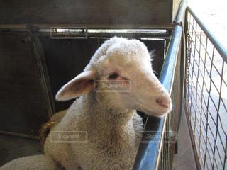 羊 - No.942255