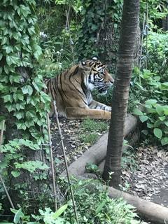 森の中の虎の写真・画像素材[2104703]
