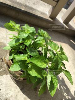 ベランダでプチ家庭菜園の写真・画像素材[941408]