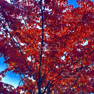 紅葉を見上げての写真・画像素材[941560]