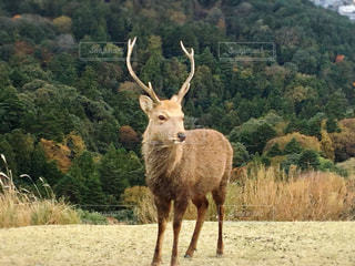 草原に立っている凛々しい鹿です。の写真・画像素材[941775]