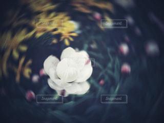 花かんざしの写真・画像素材[1027780]