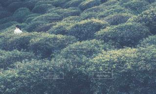 ツツジ畑の写真・画像素材[1065642]
