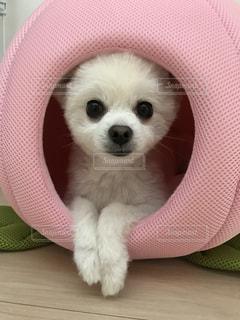 小さな白い犬の写真・画像素材[947809]