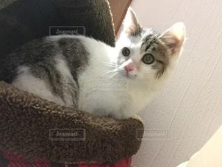 三毛猫の子猫 - No.941986