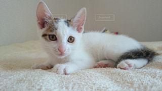 毛布の上に横になっている茶色と白の猫の写真・画像素材[942586]