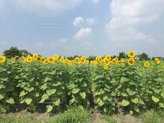 お花畑の写真・画像素材[47791]