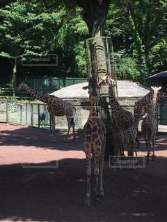 動物園のキリンの写真・画像素材[942388]