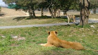 芝生で横になっているライオンの写真・画像素材[942552]