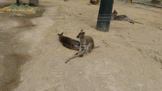 休憩中のカンガルーの写真・画像素材[942555]