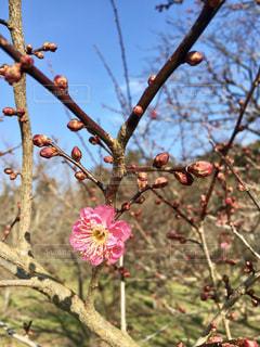 梅の花 - No.950298