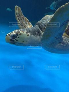 泳ぐ海亀の写真・画像素材[952909]