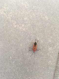 インドのおっさんの顔見たいな模様の虫の写真・画像素材[943092]
