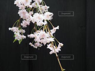 角館の黒塀と桜の写真・画像素材[944187]