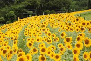 ひまわり畑 - No.945187