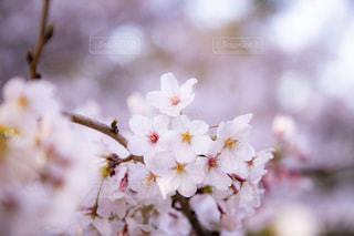 桜の写真・画像素材[2213920]