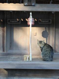 神社の猫の写真・画像素材[1715668]
