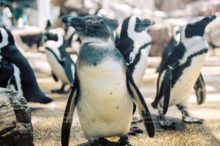 ペンギンいっぱいの写真・画像素材[944265]