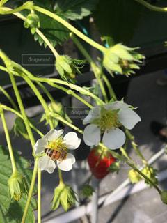苺の花に蜜を集めに来たミツバチの写真・画像素材[1860004]