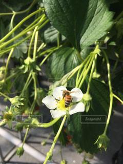 苺の蜜を集めているミツバチの写真・画像素材[1860006]