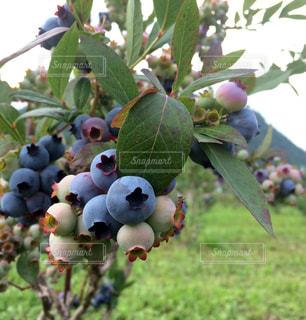ブルーベリー狩り 近くに果物の木のアップの写真・画像素材[943397]