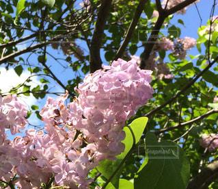 木の枝に紫色の花のグループ - No.1210702