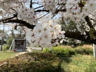 桜の写真・画像素材[1987024]