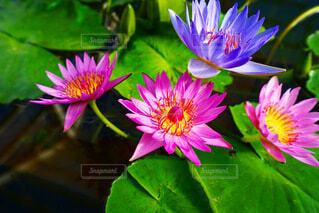 蓮の花の写真・画像素材[4030017]
