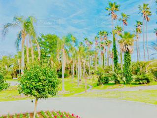 宮崎 青島のヤシの木の写真・画像素材[945079]