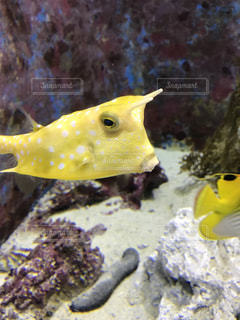 黄色のハコフグの写真・画像素材[945379]