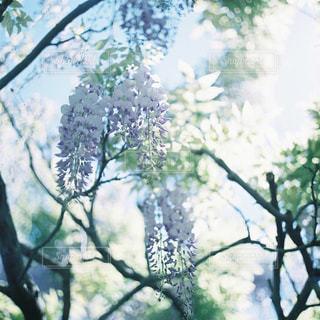 木の隣に立っているキリンの写真・画像素材[946725]