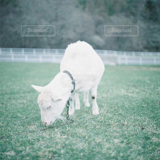 草の上に白い牛立ってカバー フィールドの写真・画像素材[946727]