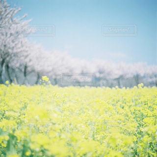 フィールド内の黄色の花の写真・画像素材[947182]