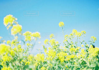 黄色の花の写真・画像素材[949049]