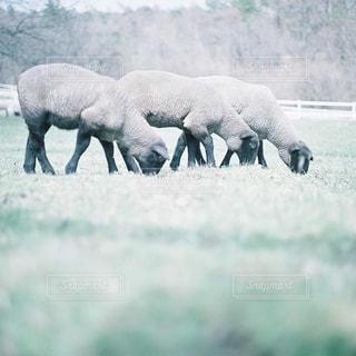 草の上を歩く羊の群れにフィールドが覆われています。 - No.957217