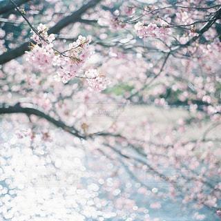 桜の写真・画像素材[957481]