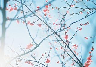 梅の写真・画像素材[1002174]