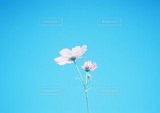 澄んだ青い空の花の写真・画像素材[1002183]