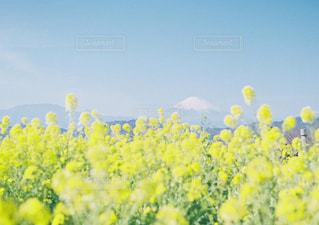黄色の花の束の写真・画像素材[1005811]
